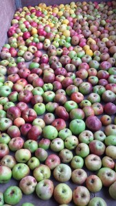 Lenzwald juice apples 2015